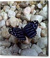 Blue Butterfly On The Rocks Acrylic Print