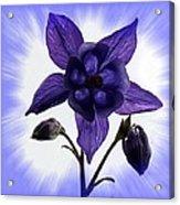 Blue Columbine Acrylic Print