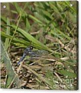 Blue Corporal Dragonfly Acrylic Print