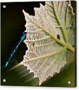 Blue Damsel On Leaf Acrylic Print