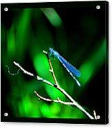 Blue Damsel Acrylic Print
