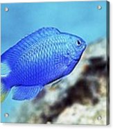 Blue Damselfish Acrylic Print