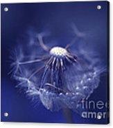Blue Dandy Acrylic Print