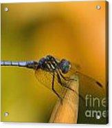 Blue Dasher - D007665 Acrylic Print