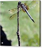 Blue Dasher Dragonfly Dancer Acrylic Print