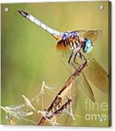 Blue Dasher On Twig Acrylic Print