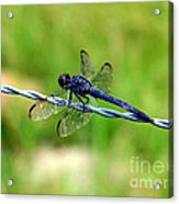 Blue Dragonfly On Barb Wire Acrylic Print