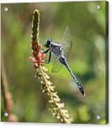 Blue Dragonfly On Pink Flower Acrylic Print