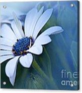 Blue Eyed African Daisy Acrylic Print
