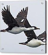 Blue-eyed Cormorant Phalacrocorax Acrylic Print