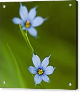 Blue-eyed Grass Wildflower - Sisyrinchium Angustifolium Acrylic Print