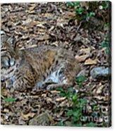 Blue Eyed Male Bobcat Acrylic Print