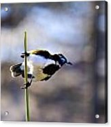 Blue Faced Honey Eater V3 Acrylic Print