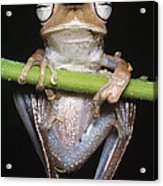 Blue-flanked Tree Frog Acrylic Print