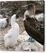 Blue-footed Booby Mother And Chick Acrylic Print