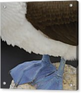 Blue-footed Booby Sula Nebouxii Acrylic Print by Pete Oxford