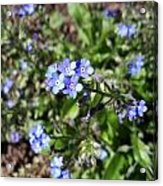 Blue Forget Me Not Acrylic Print