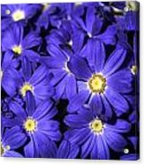 Blue Gerber Acrylic Print by Al Hurley