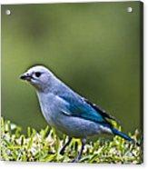 Blue-grey-tanager Acrylic Print