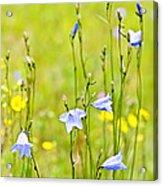 Blue Harebells Wildflowers Acrylic Print