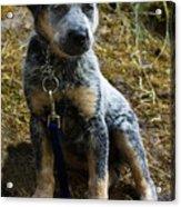 Blue Heeler Pup Acrylic Print