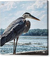 Blue Heron 1 Acrylic Print