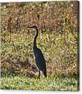 Blue Heron At Valley Forge Acrylic Print