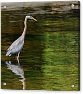 blue Heron fishing Acrylic Print