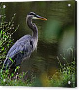 Blue Heron Observing Pond - 6955k Acrylic Print