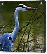 Blue Heron Vondelpark Amsterdam Acrylic Print