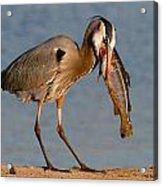 Blue Heron Vs. Rainbow Trout Acrylic Print
