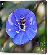 Blue Honey Bee Flower Acrylic Print