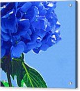 Blue Hortensia Hydrangea Acrylic Print