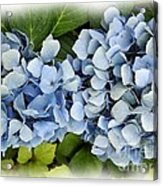 Blue Hydrangeas With Watercolor Effect Acrylic Print