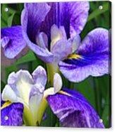 Blue Irises Acrylic Print