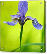 Blue Japanese Iris Acrylic Print