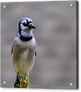 Blue Jay In The Pine Acrylic Print