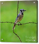 Blue Jay On Crossed Wire Acrylic Print