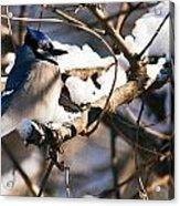 Blue Jay Staying Warm Acrylic Print