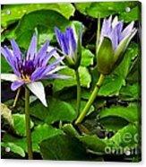 Blue Lilies Acrylic Print