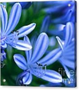 Blue Lily Of The Nile Acrylic Print