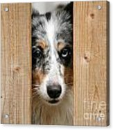 Blue Merle Sheltie Acrylic Print by Kati Molin