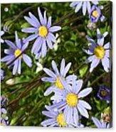 Blue Mums Acrylic Print