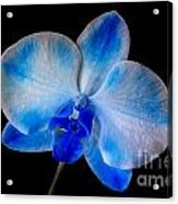 Blue Orchid Bloom Acrylic Print