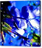 Blue Plumbago Flowers Acrylic Print by Catherine Natalia  Roche
