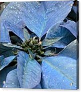 Blue Poinsettia Acrylic Print