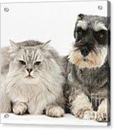 Blue-point Kitten & Miniature Schnauzer Acrylic Print