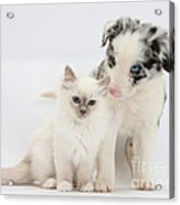 Blue-point Kitten And Border Collie Acrylic Print