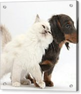 Blue-point Kitten And Dachshund Pup Acrylic Print