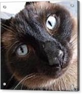 Blue Siamese Eyes Acrylic Print